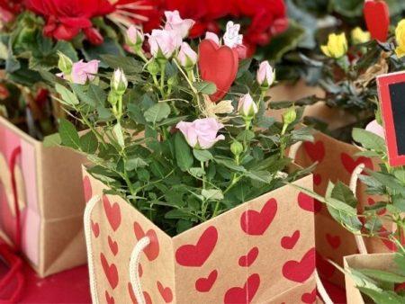 mini-rosier en pot
